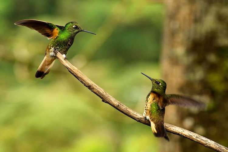 Hummingbirds Mashpi Lodge - Lodges Ecuador